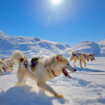 Greenland-sled-dogs-stock
