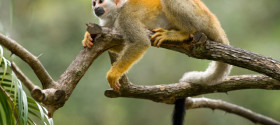 Squirrel-Monkey-Costa-Rica_