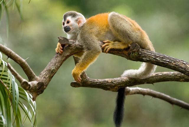 Squirrel-Monkey-Costa-Rica_