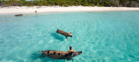 Swimming-Pigs-Fowl-Bay-Bahamas
