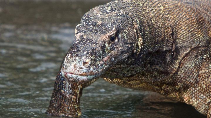 Indonesia Komodo dragon