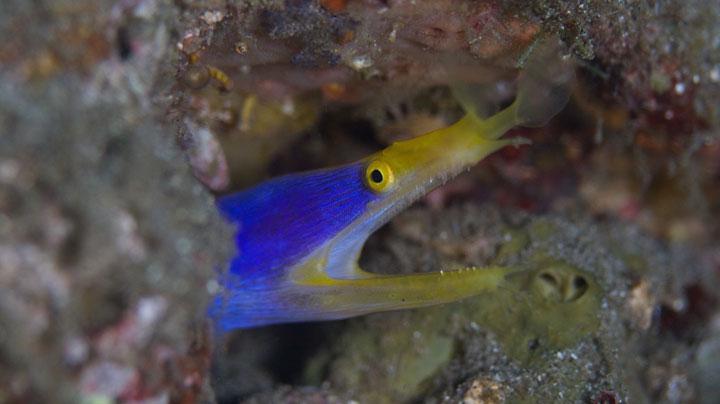Indonesia ribbon eel
