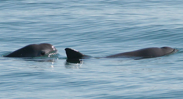 Vaquitas-SeaKeepers-Discovery-Yachts-NOAA