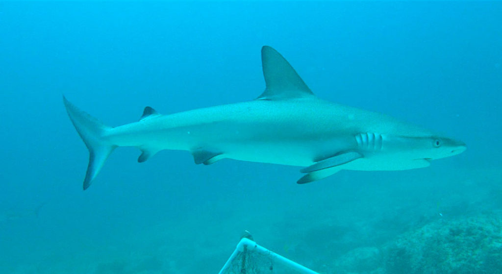 BRUVS underwater video of shark from Global FinPrint