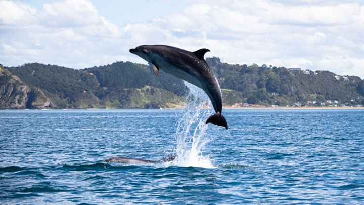 dolphin spotting at the New Zealand Millennium Cup marks the superyacht regatta calendar